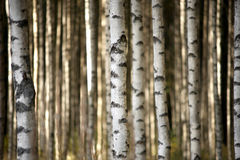 Boomstammen van berkbomen