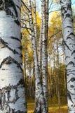 Boomstammen van berkbomen Stock Afbeeldingen