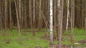 Boomstammen van berkbomen in de lentedag als achtergrond stock video