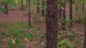 Boomstammen van berkbomen in de lentedag als achtergrond stock videobeelden