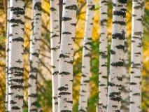 Boomstammen van birchwood Stock Foto