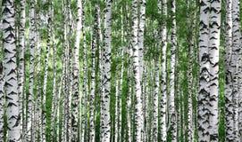 Boomstammen van de bomen van de de zomerberk Stock Afbeelding