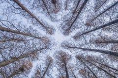 Boomstammen van de helling van metasequoiabomen terug in de winter stock afbeelding