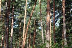 Boomstammen van de pijnboom de bos Oranje boom stock afbeelding