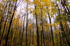 Boomstammen van het bos van de bomenherfst Royalty-vrije Stock Afbeelding
