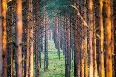 Boomstammen van pijnbomen Royalty-vrije Stock Afbeelding
