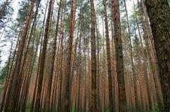 Boomstammen van pijnboombomen in het bos Royalty-vrije Stock Afbeelding