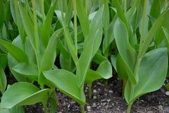 Boomstammen van tulpen Stock Foto