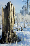Boomstomp in de winterbos Stock Afbeelding