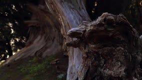 Boomstomp in een vorm van een dinosaurus stock footage