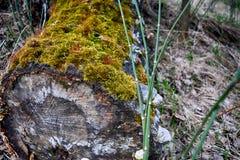 Boomstomp met groen mos wordt behandeld dat Royalty-vrije Stock Foto's