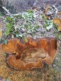 Boomstomp van bosfalldownklimop die wordt gezaagd stock foto's
