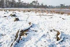 Boomstompen en wortels in de sneeuw Stock Fotografie