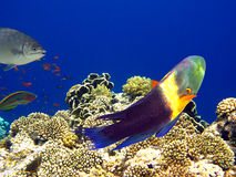 Boomtail wrasse Royalty Free Stock Photography