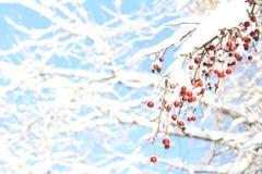 Boomtak met bessen in sneeuw tegen de blauwe hemel worden behandeld die Royalty-vrije Stock Foto's