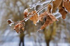 Boomtak met bladeren in duidelijk ijs na het bevriezen regen worden behandeld die stock afbeelding