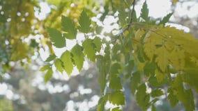 Boomtak met gele bladeren die in de wind en stralen die van zon slingeren op het op een de herfstochtend de glanzen - stock video