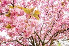 Boomtak met mooie roze bloemen Stock Afbeeldingen