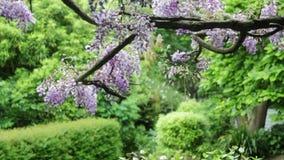 Boomtak met purpere bloemen, en boom het schudden met wind stock video
