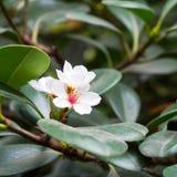 Boomtak met witte bloem Royalty-vrije Stock Fotografie