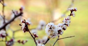 Boomtak met witte bloemen stock videobeelden