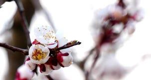 Boomtak met witte bloemen stock video
