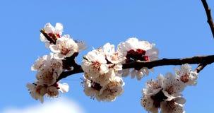 Boomtak met witte bloemen stock footage