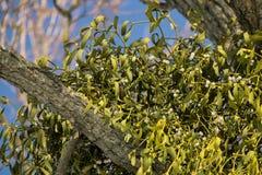 Boomtakken die door maretak worden beïnvloed stock afbeelding