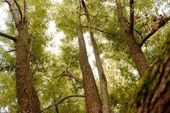 Boomtakken die omhoog met groene bladeren en blauwe hemel kijken Royalty-vrije Stock Foto's