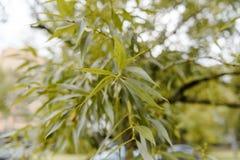 Boomtakken die omhoog met groene bladeren en blauwe hemel kijken Stock Foto's