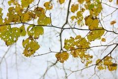 Boomtakken met de herfstbladeren Stock Foto
