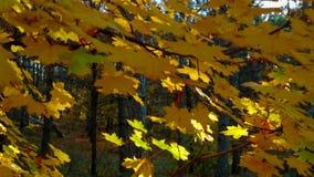Boomtakken met Multicolored Bladeren in Herfstbos stock videobeelden