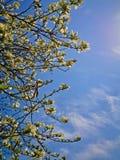 Boomtakken met witte bloemen en blauwe hemelachtergrond, de lente royalty-vrije stock foto