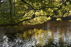 Boomtakken over het water op een mooie de Herfstdag die worden gebogen stock foto's