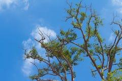 Boomtakken tegen gezwollen wolken en blauwe hemelachtergrond Stock Afbeeldingen