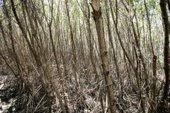 Boomtunnel in sleep van de Mangrove de bosaard royalty-vrije stock foto