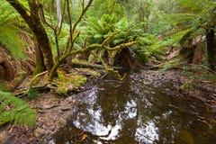 Boomvarens die die dichtbij kreek groeien door bos wordt omringd wordt behandeld met Royalty-vrije Stock Afbeelding