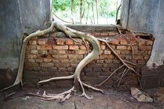 Boomwortel op de oude tempelmuur Royalty-vrije Stock Foto's