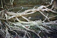 Boomwortel op de oude tempelmuur Royalty-vrije Stock Foto