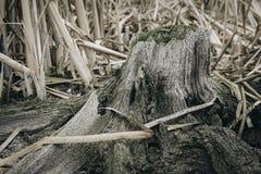 Boomwortel op een modderige bodem van meer royalty-vrije stock fotografie