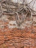 Boomwortel op oude muur Royalty-vrije Stock Foto
