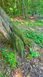 Boomwortels in bos royalty-vrije stock afbeelding