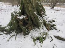 Boomwortels in de Sneeuw Stock Afbeeldingen