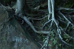 Boomwortels die rond een reusachtige rots groeien stock foto