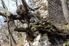 Boomwortels die uit de ruïnes van de steenmuur voortkomen stock foto