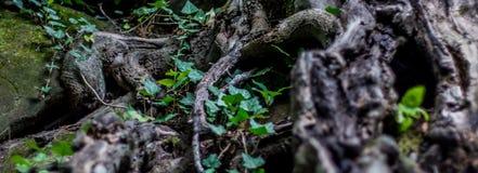 Boomwortels en groen bos Stock Foto