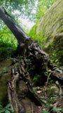 Boomwortels en groen bos Stock Afbeeldingen