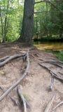 Boomwortels in het bos Stock Fotografie