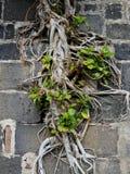Boomwortels in muur Stock Foto's