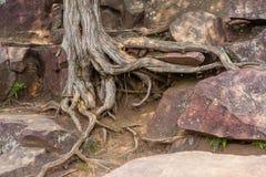 Boomwortels op rots Stock Afbeeldingen